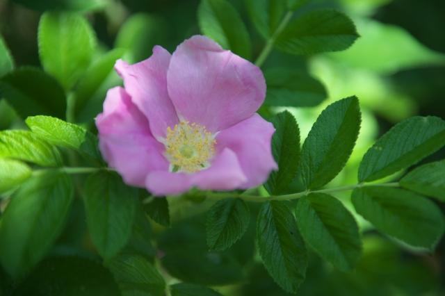 Rosa.rugosa-01