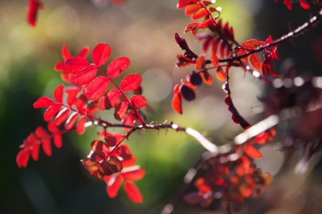 Rosa spinosissima bicolor-01