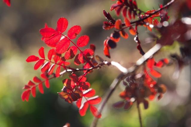 Rosa spinosissima bicolor-02