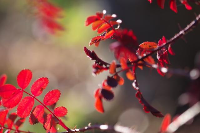 Rosa spinosissima bicolor-04