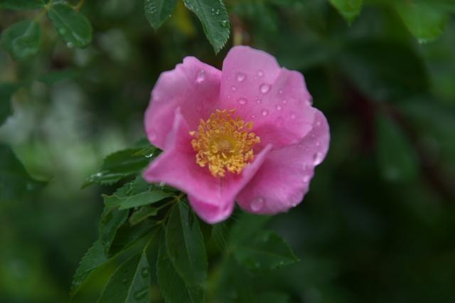 Rosa.virginia