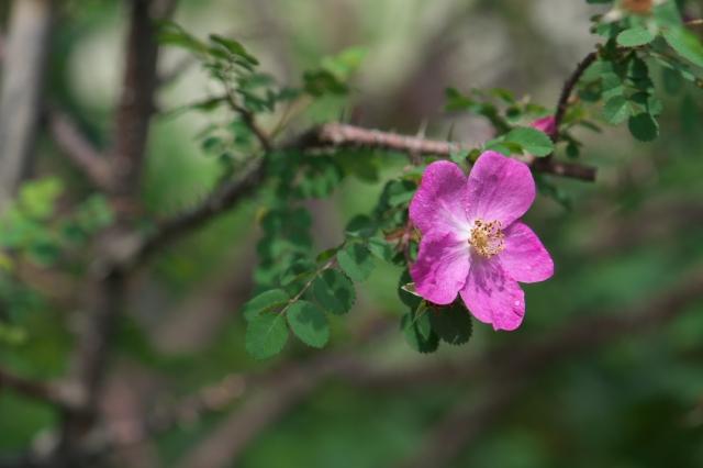 Rosa.willmottiae