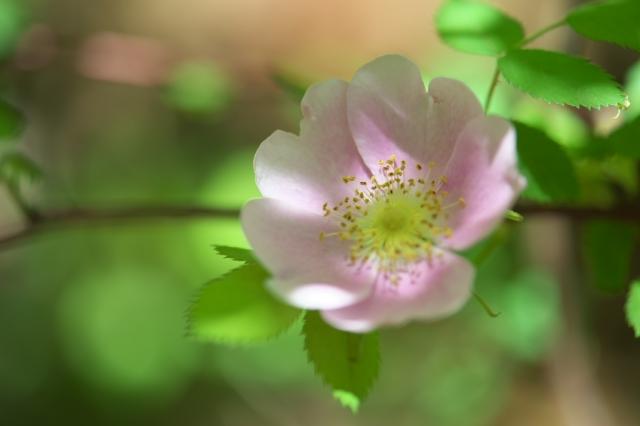 Rosa Woodsii var Fendleri