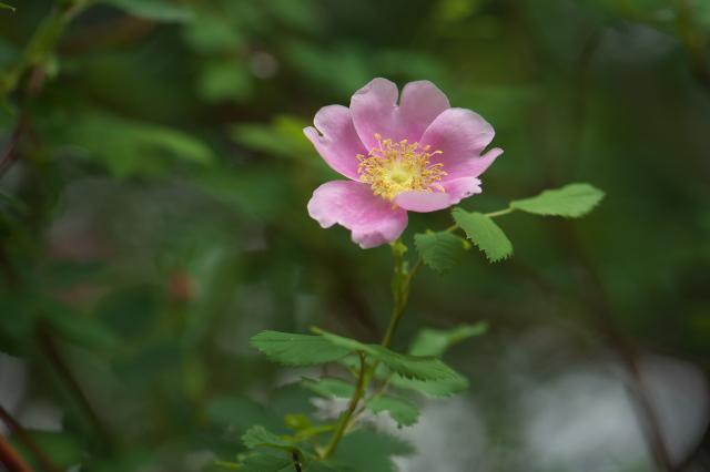 Rosa woodsii var Fendleri-03