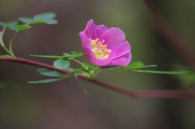 Rosa woodsii var Fendleri-01