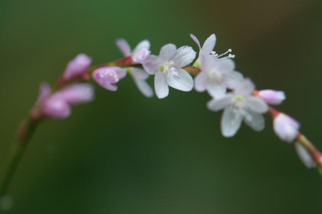 サクラタデ(Persicaria odorata subsp. conspicua)-03