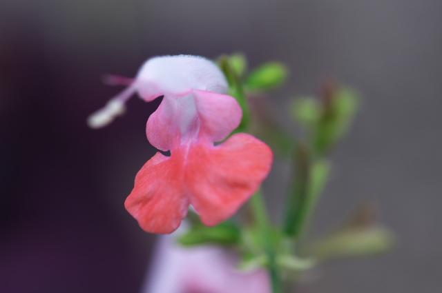 Salvia Coccinea Coral Nymph-02