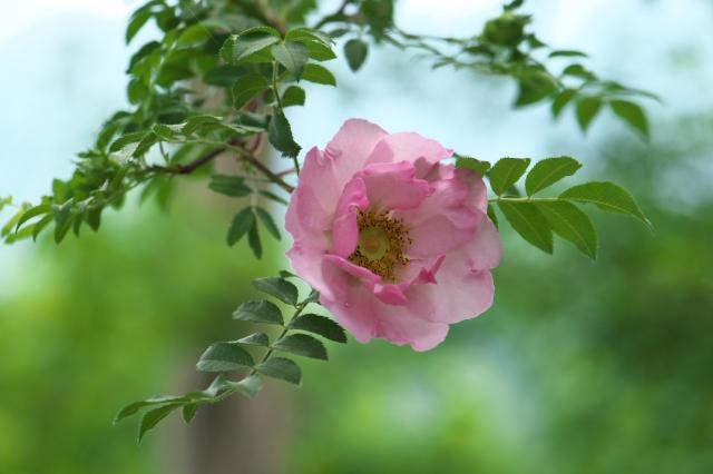 サンショウバラの八重咲き種