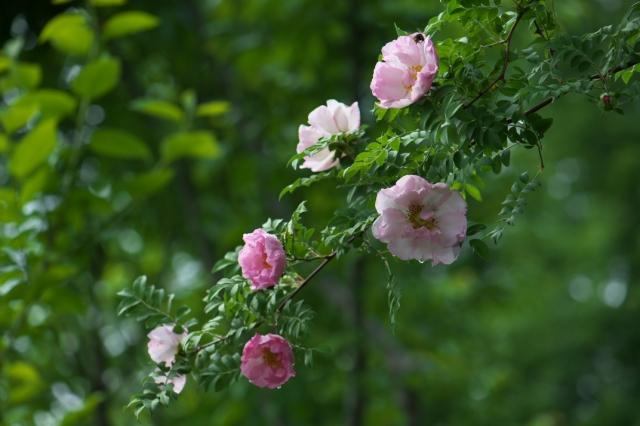 八重咲きサンショウバラ