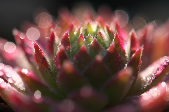 Sempervivum Hart-03