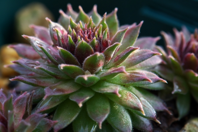 Sempervivum Pacific Red Tide-01