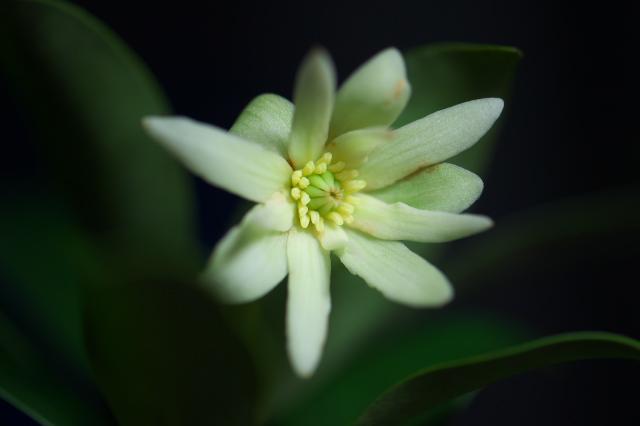 シキミの花-03