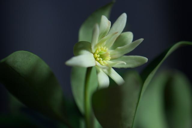 シキミの花-01