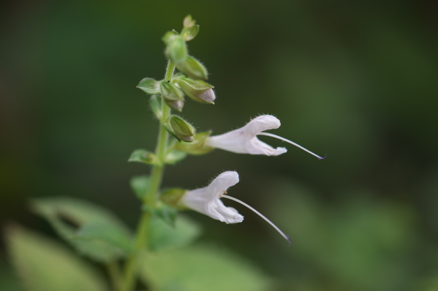 白花アキギリ-02