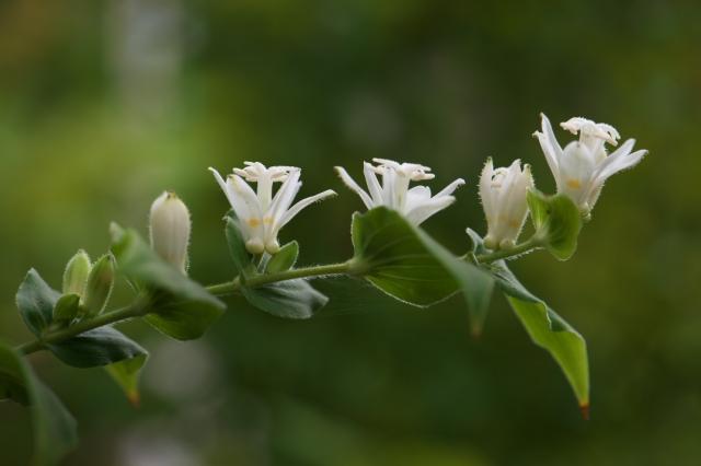 白花ホトトギス-01