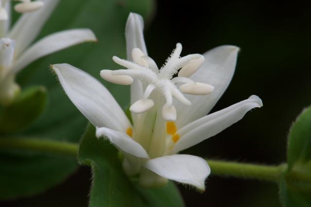 白花ホトトギス-03