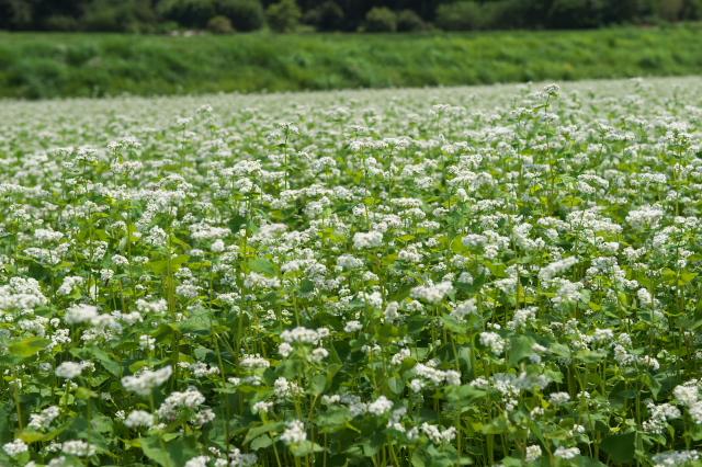 高原の蕎麦畑-03