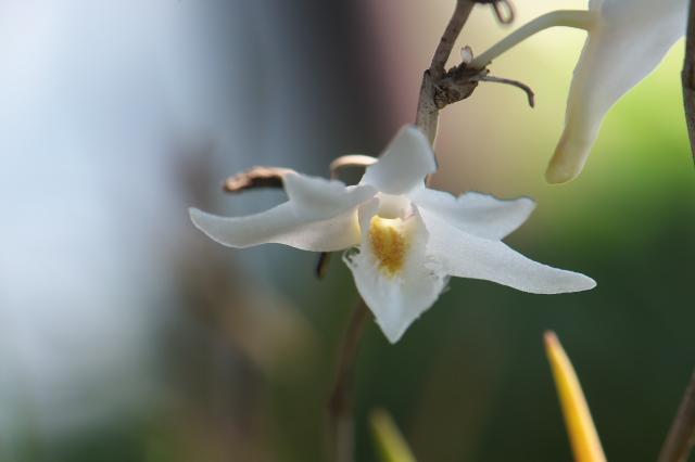 Dendrobium equitans-03