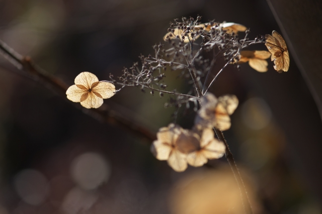玉アジサイの萼片-03