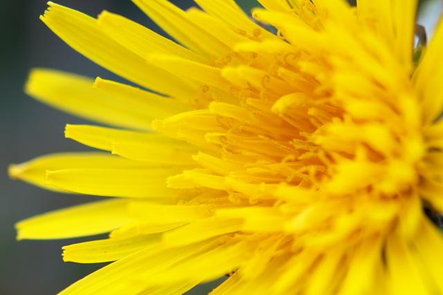 タンポポの開花-05