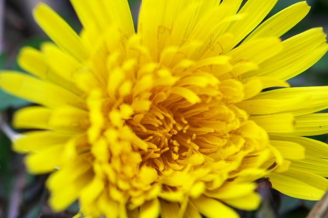 タンポポの開花-04