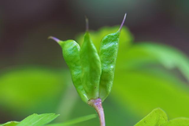 トリカブトの種鞘-01