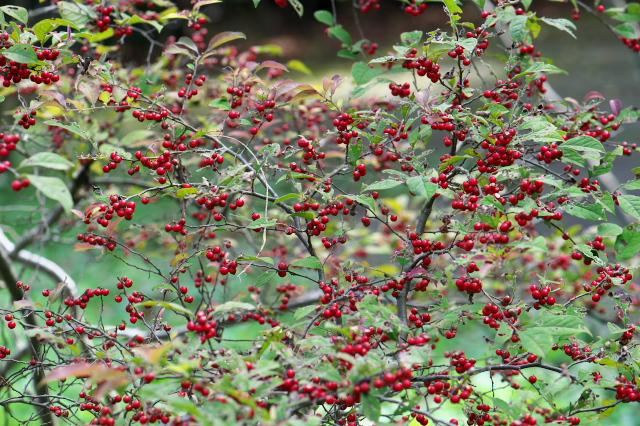 ウメモドキの赤い実-04