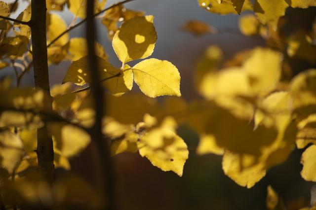 ヤマコウバシの黄葉-01