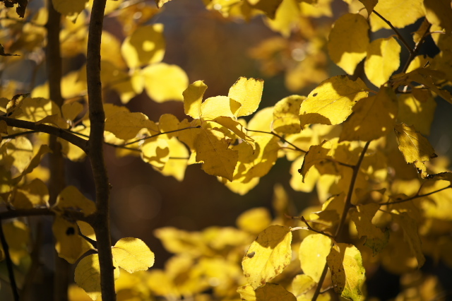 ヤマコウバシの黄葉-02