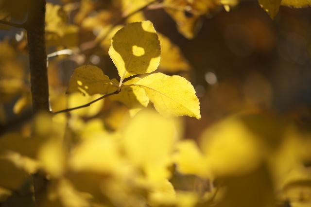 ヤマコウバシの黄葉-03