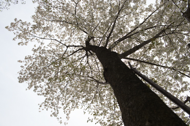 シンボルツリーのヤマサクラ