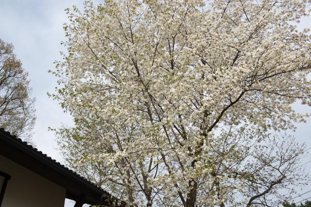 シンボルツリーのヤマサクラ-01