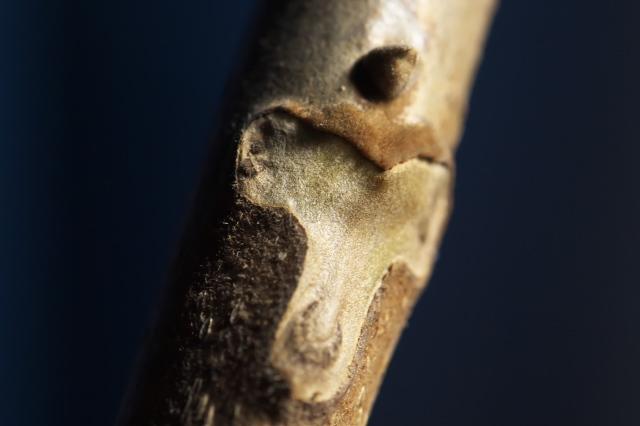 サワグルミの葉痕-03