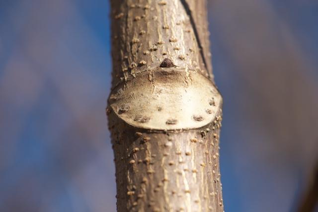 トチの木の葉痕
