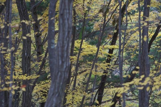 雑木林の中の黄葉-01