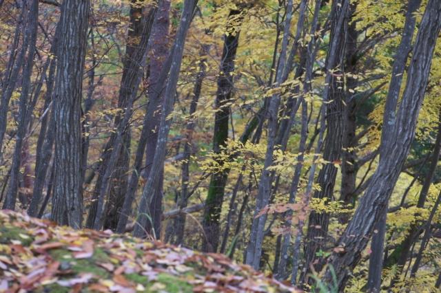 雑木林の中の黄葉-02
