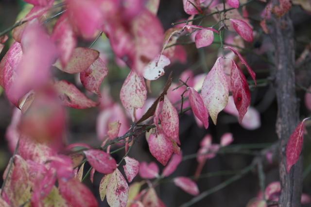 ニシキギの紅葉-03