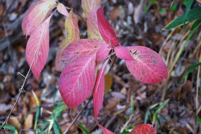 山アジサイの葉の紅葉