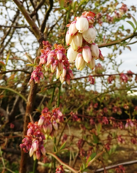 花が咲いたブルーベリー
