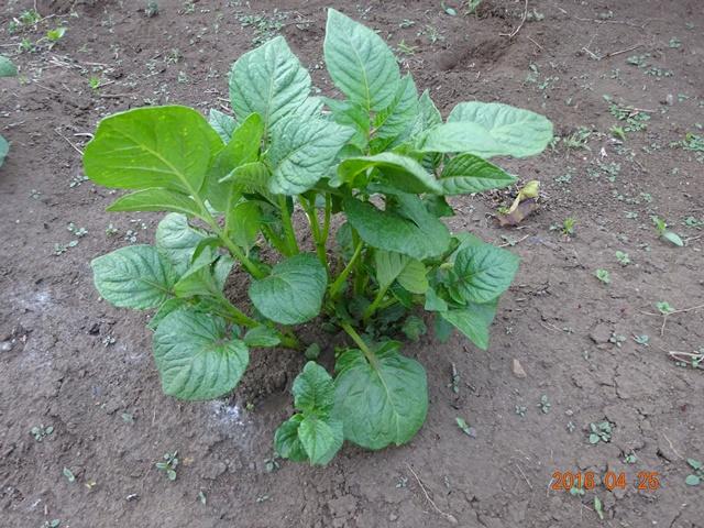 芽欠き前のジャガイモ