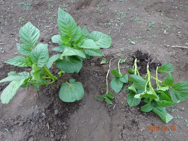 芽欠き後のジャガイモ