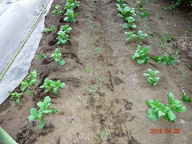 芽欠きを終えたジャガイモ畑