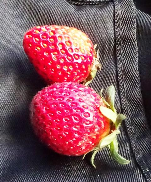 初収穫の2個のイチゴ