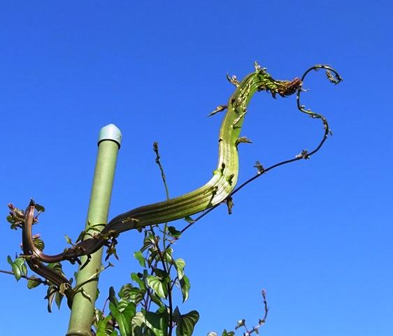 帯状の山芋の蔓
