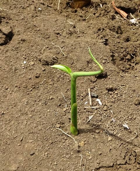 ショウガの発芽