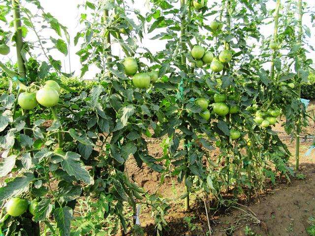 トマトが沢山成っている