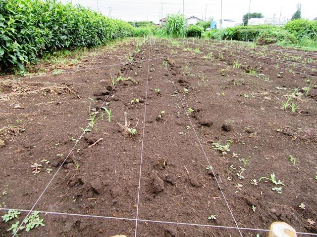 発芽したばかりの大豆の鳥対策