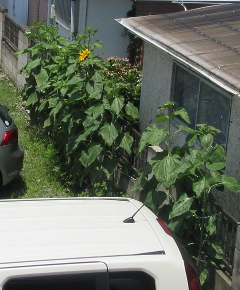 ヒマワリが咲いた1