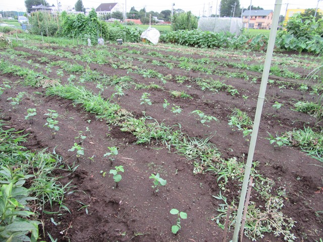 第二弾大豆畑の草取り完了