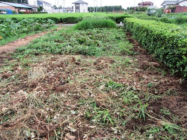 イチゴ畑の片付け